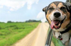 Az állatútlevél feltétele az állat mikrochipes megjelölése